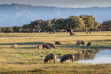 Iberian Pigs Grazing In The Co...
