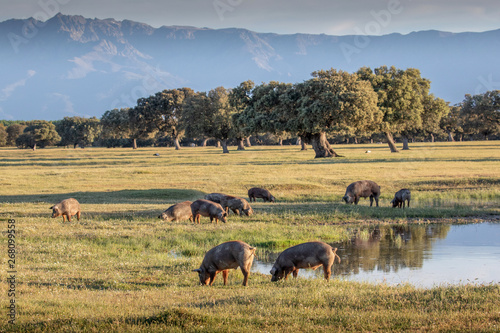 Iberian pigs grazing in the countryside Canvas