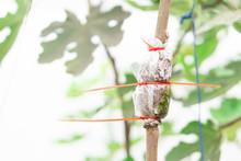 Closeup Grafting Tree Branch W...
