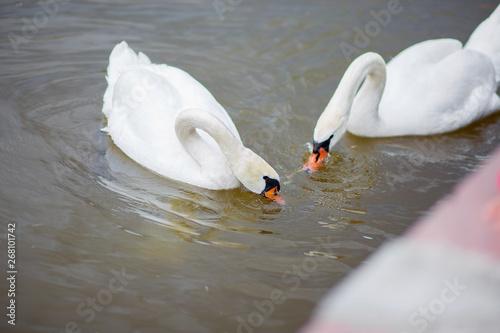 Fotografie, Obraz  Two white swans catch food in water