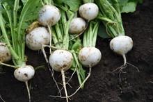 Kitchen Garden / Turnip Havest...