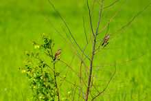 Field Singing Migratory Birds In The Spring Field In Russia