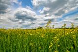 Fototapeta Kwiaty - złote pole rzepaku