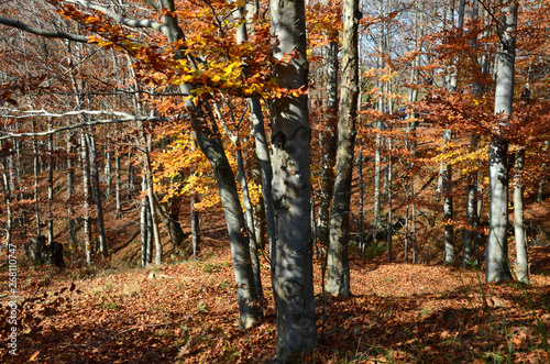 Poster Berkbosje autumn landscape on the mountains of Genoa in Liguria in Italy