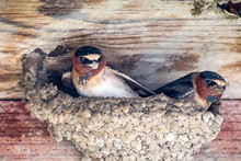 A Pair Of Cliff Swallows (Petrochelidon Pyrrhonota) Building A Nest On A Wooden Ledge, In The Spring Time, San Francisco Bay Area, California