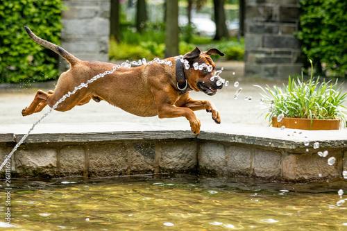 Cuadros en Lienzo Big dog is having fun at the water