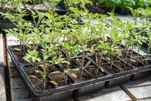 Commercial Tomato Seedlings In...