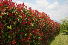 Red Robin Photinia Hedge In Sp...