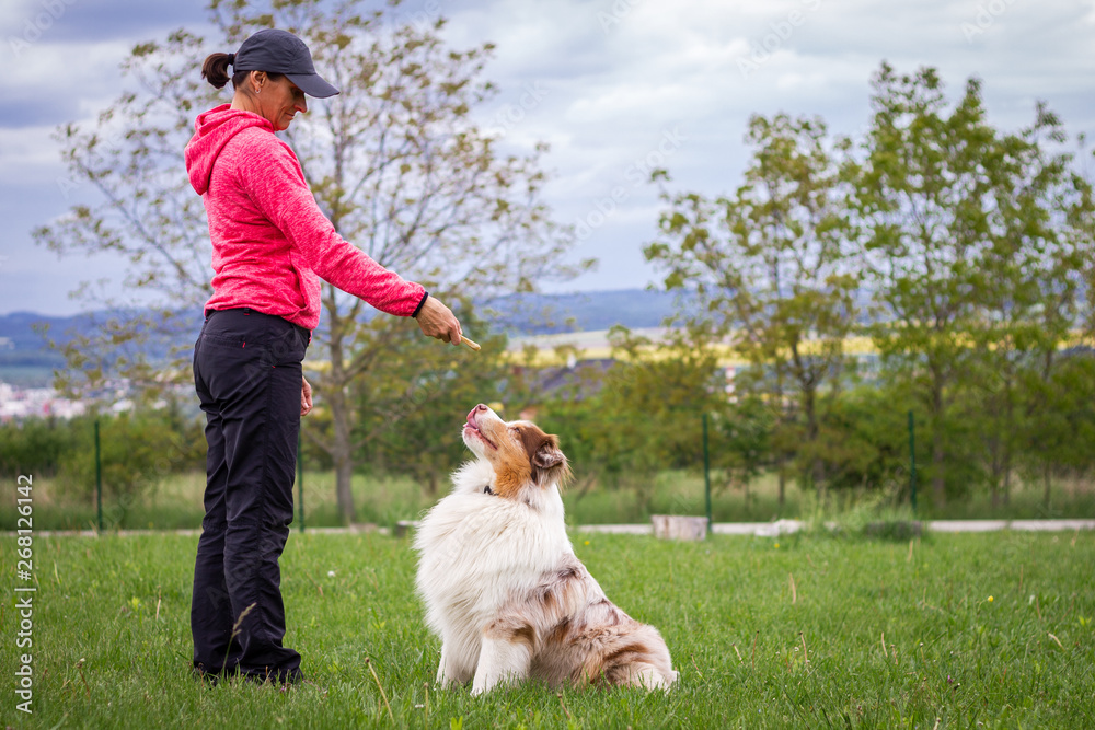 Fototapety, obrazy: Animal trainer giving snack reward to dog after training. Woman and Australian shepherd
