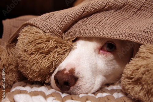 SICK OR SCARED DOG COVERED WITH A WARM  TASSEL BLANKET Wallpaper Mural