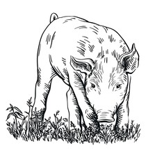 Pig Stands In The Grass With His Head Down