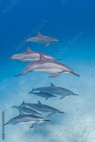 Foto op Aluminium Dolfijn Pod of dolphins in clear blue water