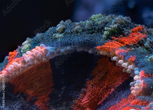 Macro photo of a Scolymia Australian bleedign apple large Polyp Stony coral Canvas Print