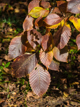Leaves Of Elm In Autumn At Sunlight With Bokeh Background, Selective Focus, Shallow DOF