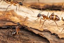 Large Camponotus Carpenter Ant...