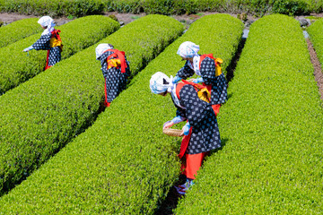 Fototapeta Do herbaciarni 静岡県富士市 大淵笹場の茶畑 お茶まつり
