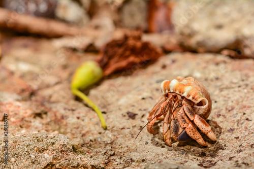 Canvas Print Caribbean Land Hermit Crab (Coenobita clypeatus)