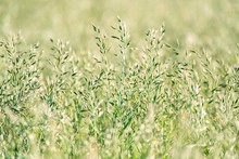 Close-up Of Tall Grass In Sunn...