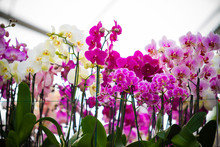 Beautiful Phalaenopsis Orchid Flowers. Beautiful Flowers