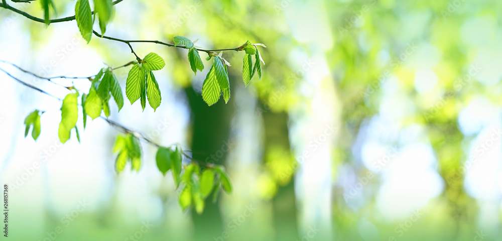 Fototapeta delightful scene with branch with bright green leaves on sunny natural abstract background. beautiful green leaves, summer or spring season scene. banner. copy space