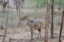 Scraggly Deer
