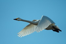Flying Swans.Group Of White Sw...