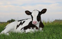 Newborn Holstein Calf Laying O...