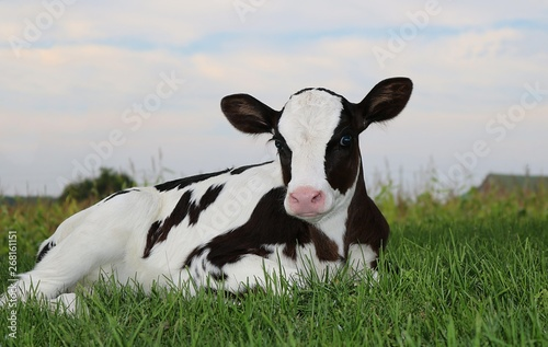 Leinwand Poster Newborn Holstein calf laying on the grass at twilight