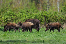 Wild Boar Family On The Green ...