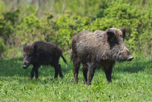 A Wild Boar Family On Green Grass