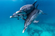 canvas print picture - Delfine beim spielen
