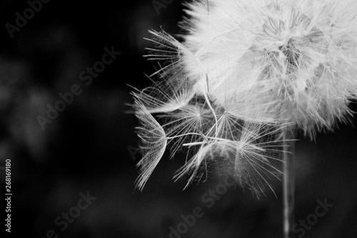 Foto auf Leinwand Lowenzahn One White dandelion scatters, close-up on a dark background. Macro. Black and white, monochrome