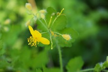 The Yellow Celandine Flowers Bloomed In The Meadow In The Spring.