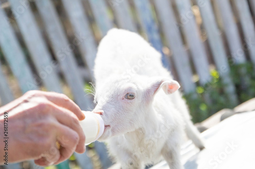 feeding a baby goat with milk from a bottle - Buy this stock