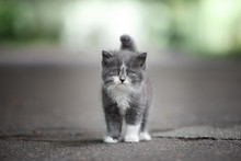 Grey And White Fluffy Kitten P...