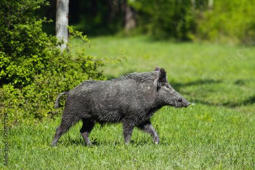 Tablou Canvas Wild boar in green grass