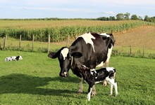 Newborn Holstein Calf Rubs Up Against Cow In The Pasture While Twin Is Laying Down In Behind