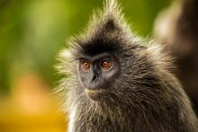 Portrait Silvered Leaf Monkey (Trachypithecus Cristatus) Or Silvery Lutung (silver Leaf Monkey). Silvery Langur Malaysia