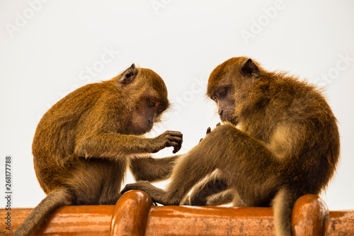 Fotografie, Obraz  Long tailed Macaque in Malaysia