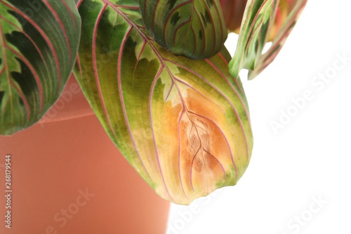 Potted home plant with leaf blight disease on white background, closeup Canvas Print