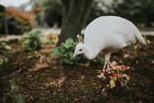 White Peacock Hen