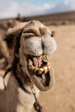 Camel Showing Its Teeth.