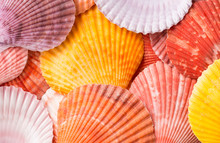 Scallop Seashells, Close Up