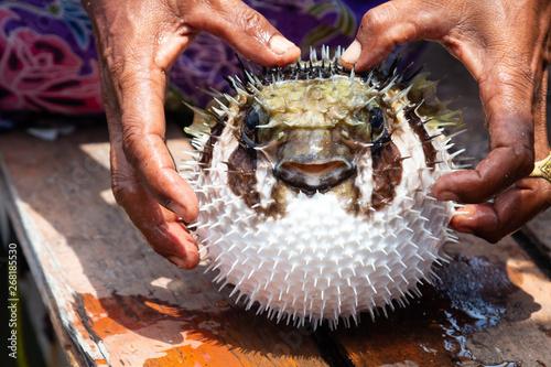 Photo  puffer fish on fisherman hand wish self protection.