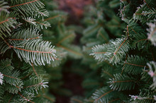 Frosty Fir Branches At Christmas Tree Farm