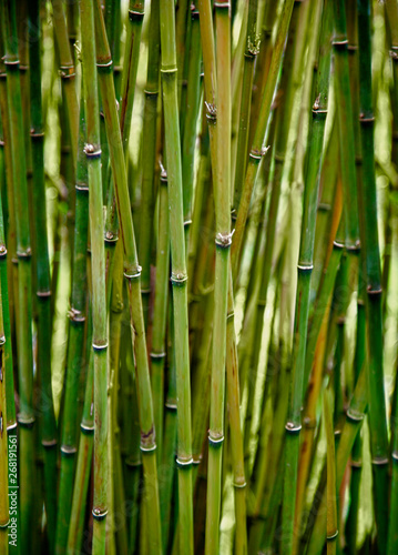 Foto op Plexiglas Groene Fresh green tropical bamboo plants