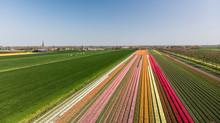 Dutch Flowering Tulip Field