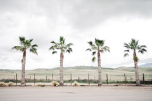 Four Palm Trees And Grey Sky