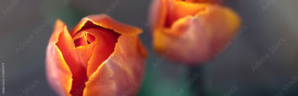 Fototapety, obrazy: Orange tulip flowers - nature banner or panorama - close up, focus on left tulip, fading to background.