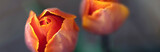 Fototapeta Tulipany - Orange tulip flowers - nature banner or panorama - close up, focus on left tulip, fading to background.